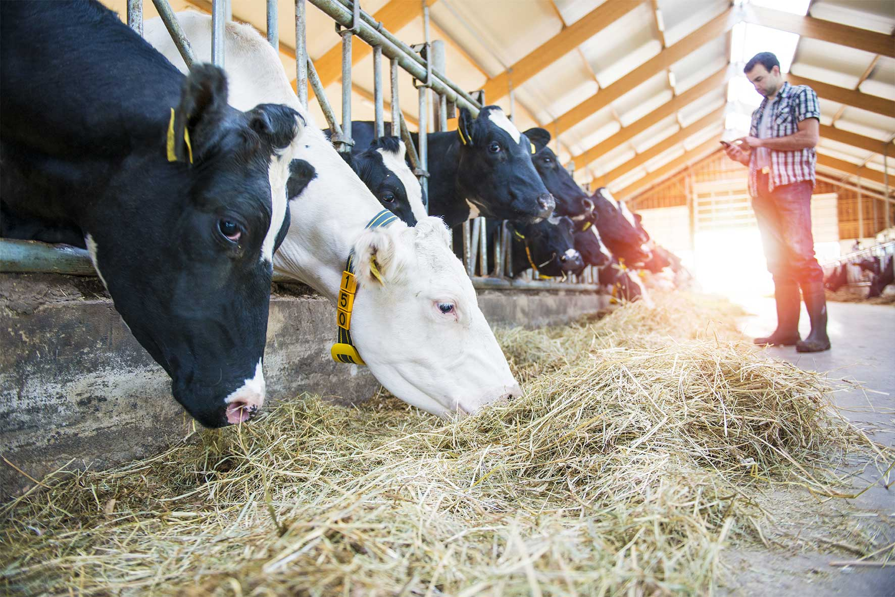 censortec cattle management